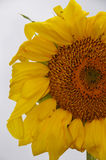 Sunflower with Ants Royalty Free Stock Photos