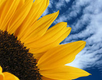 Sunflower Arc and Clouds. Macro of a sunflower with clouds and blue sky in the background Stock Photos