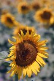 Sunflower of Arles Royalty Free Stock Images