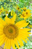 Sunflower arrangemnt Royalty Free Stock Photos