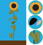 Sunflower as a plant Royalty Free Stock Photography