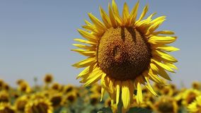 Sunflower in the autumn stock video footage
