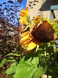 Sunflower in autumn garden. Close up of sunflowers in autumn backyard garden on sunny day stock images