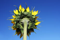 Sunflower back. Back of the sunflower in the blue sky as background Royalty Free Stock Photos