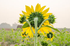 Sunflower. Back side sunflower in the field Royalty Free Stock Photo
