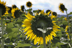 Sunflower back view - Umbria, Italy Royalty Free Stock Image