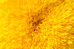 Sunflower Backdrop Royalty Free Stock Photography