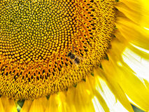 Sunflower Background. A background with a closeup view of a sunflower stock images