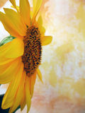 Sunflower Background. Background of a yellow hand painted backdrop with a sunflower to the side photographed in a natural light studio Royalty Free Stock Photo
