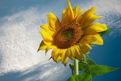 Sunflower for background. Sunflower with bee for background Royalty Free Stock Image