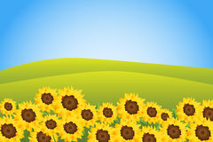 Sunflower background. Illustration of a green meadow with many sunflowers.EPS file available Stock Photography