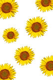 Sunflower background Royalty Free Stock Image