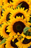 Sunflower background. Yellow Sun flower background vertical Royalty Free Stock Photography