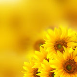 Sunflower background Royalty Free Stock Images