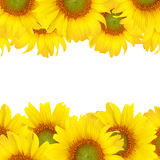 Sunflower  background Stock Photos