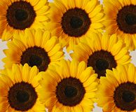 Sunflower Background. An arrangement of sunflowers on neutral background Stock Images