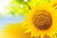 Sunflower Background. Beautiful Sunflower Reflecting On Water Background Royalty Free Stock Image