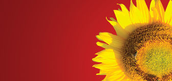 The sunflower background Stock Images