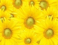 Sunflower - Background Stock Photography