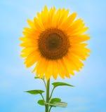Sunflower background Royalty Free Stock Photo
