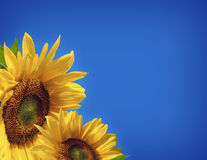 Sunflower Background. Bright and cheerful sunflowers on a blue background Stock Image