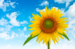 Sunflower on a background of blue cloudy sky Royalty Free Stock Photography