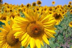 Sunflower. On background blue sky Royalty Free Stock Image