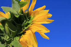 Sunflower. On a background of blue sky Stock Images