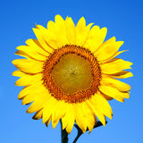 Sunflower on a background of blue sky. Stock Photography
