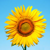 Sunflower on a background of blue sky. Royalty Free Stock Image