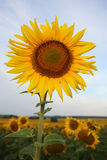Sunflower on a background of blue sky Stock Photo