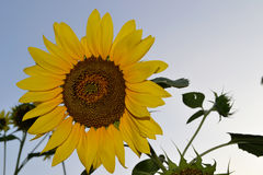 Sunflower. On a background blue sky in the light of a sun Royalty Free Stock Images