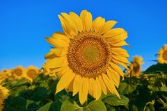Sunflower on the Background of a Sky Stock Photos