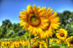 Sunflower. On background blue sky Royalty Free Stock Photography