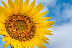 Sunflower on background of clouds and blue sky Stock Image