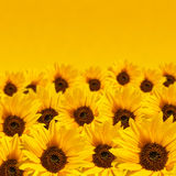 Sunflower background with copyspace Stock Photos
