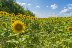Sunflower on a background field of blooming sunflowers Stock Photo