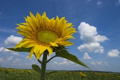 Sunflower on a background field of blooming sunflowers Royalty Free Stock Photo