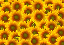 Sunflower - Background Royalty Free Stock Image