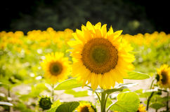Sunflower on the background of the forest. Big yellow sunflower in a field near the forest in summer sunny day Royalty Free Stock Photo
