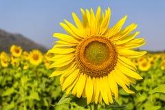 Sunflower. Background sunflower graden in thailand Royalty Free Stock Photos