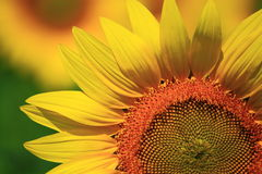Sunflower with Background Stock Photography