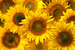 Sunflower Background. Background image made of several yellow sunflowers Royalty Free Stock Photography