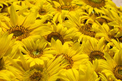 Sunflower background. Background made of yellow sunflowers Royalty Free Stock Photo