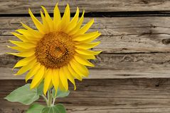 Sunflower on background of the old wooden fence Royalty Free Stock Photography