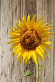 Sunflower on background of the old wooden fence Stock Images