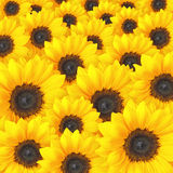 Sunflower background pattern Stock Images