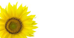 Sunflower background with place for your text Royalty Free Stock Photo