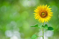 Sunflower Background for presentation Royalty Free Stock Photo