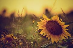 SunFlower Background with real beautiful bokeh stock photos